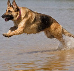 germanshepherd3